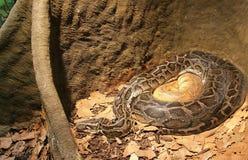 Blut-Pythonschlange 1 stockfotografie
