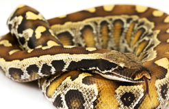 Blut-Pythonschlange stockfotos