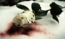 Blut-Schnee Rose Stockfotos