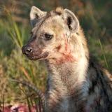 Blutbefleckte Hyäne, die sein Opfer schützt lizenzfreie stockfotografie