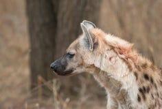 Blutbefleckte Hyäne Lizenzfreies Stockfoto