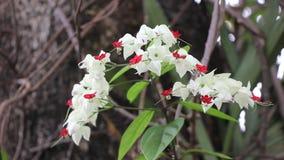 Bluten Glorybowers Blumen oder Taschenblume stock footage