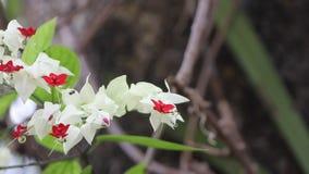 Bluten Glorybowers Blumen oder Taschenblume stock video footage