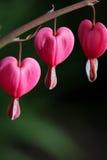 Blutende Herzen Lizenzfreie Stockbilder
