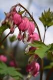 Blutende Herzen, die im Garten blühen Stockfoto