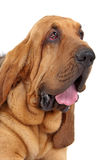 Bluthund Stockbilder