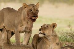 Blutiger Lion Pair im Kalahari Lizenzfreie Stockfotos