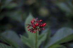 Blutrote Blumen-Knospe im Makro gegen unscharfes Laub Lizenzfreies Stockbild