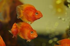 Blutrote Papagei Cichlid-Aquariumfische lizenzfreies stockbild