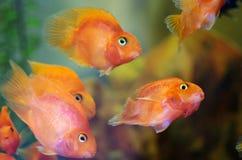Blutrote Papagei Cichlid-Aquariumfische stockbilder