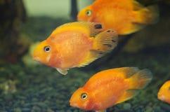 Blutrote Papagei Cichlid-Aquariumfische lizenzfreie stockfotos