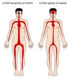 Blutverteilung wegen der Schwerkraft vektor abbildung