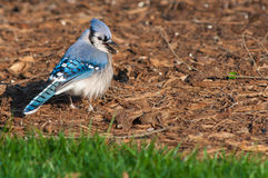 Bluy Jay Royalty Free Stock Photography