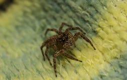 Skokowy pająk na tkaninie Obrazy Royalty Free
