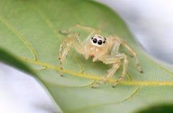 Bluza pająk Zdjęcie Stock