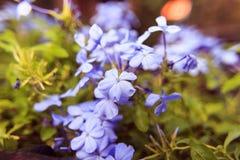 Blyertsauriculataen blommar mjuk suddighetsbakgrund Fotografering för Bildbyråer