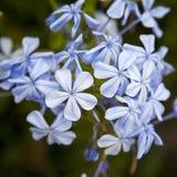 BlyertsauriculataLam Royaltyfria Foton