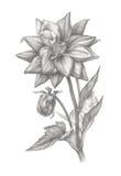 Blyertspennateckning av en dahlia royaltyfri foto