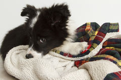 Blyg border collie valp Royaltyfria Foton