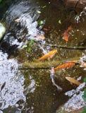 Blyg fisk i det reflekterande dammet arkivfoto