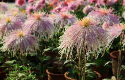 Blyg flickakrysantemum Royaltyfria Foton