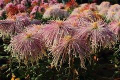 Blyg flickakrysantemum Arkivbilder