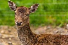 Blyg hjort i skogen Fotografering för Bildbyråer