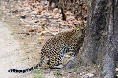 Blyg leopard som upp till kura ihop sig ett träd Arkivfoton