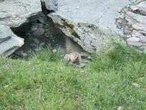 Blyg murmeldjur i fjällängarna arkivbild