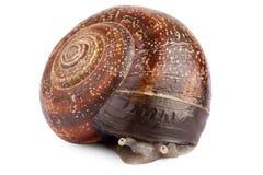 blyg snail Royaltyfri Bild