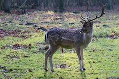 Blyga hjortar i den öppna near skogen Royaltyfri Fotografi