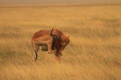 Blyga Jacksons Hartebeest Arkivfoto