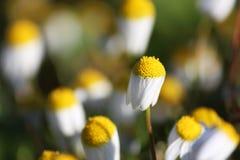 Blyga vita Daisy Field Closeup Fotografering för Bildbyråer