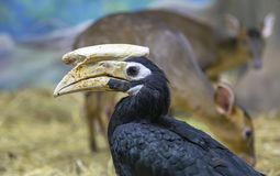 Free Blyth Hornbill Rhyticeros Plicatus, Papuan Hornbill Royalty Free Stock Photo - 154152075