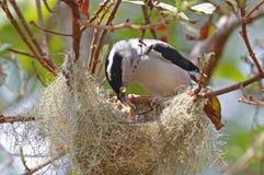 Blyth ` s伯劳说话模糊不清的人Pteruthius aeralatus男性鸟哺养 库存照片
