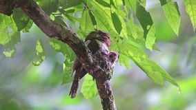 Blyth`s Frogmouth Batrachostomus affinis Male Birds and Two baby Birds in the nest. Blyth`s Frogmouth Batrachostomus affinis Male Bird and Two baby Birds in the stock video footage
