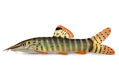 Blyth's loach catfish Syncrossus berdmorei blyth Botia berdmorei aquarium Stock Image