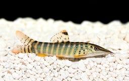 Blyth's loach catfish Syncrossus berdmorei blyth Botia berdmorei aquarium Stock Photos