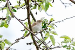 Blyth-` s Reed Warbler Acrocephalus dumetorum Lizenzfreies Stockbild