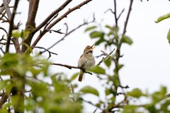 Blyth-` s Reed Warbler Acrocephalus dumetorum Stockfotos