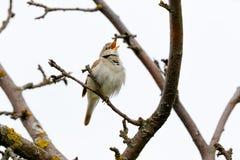 Blyth-` s Reed Warbler Acrocephalus dumetorum Lizenzfreie Stockfotografie