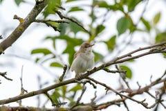 Blyth-` s Reed Warbler Acrocephalus dumetorum Stockbild