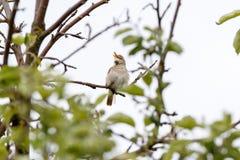 Blyth-` s Reed Warbler Acrocephalus dumetorum Stockfotografie