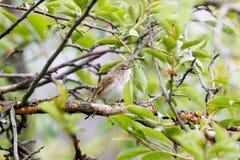 Blyth-` s Reed Warbler Acrocephalus dumetorum Lizenzfreie Stockfotos