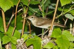 Blyth's Reed Warbler , Acrocephalus dumetorum. Nest of the Blyth's Reed Warbler , Acrocephalus dumetorum Stock Photography