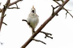 Blyth`s Reed Warbler Acrocephalus dumetorum. Male Royalty Free Stock Photo