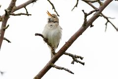 Blyth`s Reed Warbler Acrocephalus dumetorum. Male Royalty Free Stock Photography