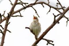 Blyth`s Reed Warbler Acrocephalus dumetorum. Male Royalty Free Stock Photos
