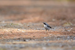 Blyth's Shrike-Babbler ,Beautiful bird on ground stock photography