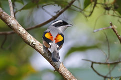 Blyth's Shrike-babbler Pteruthius aeralatus Male Birds of Thailand stock photos